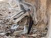Känguru im Beutel (bayernphoto) Tags: känguru kangaroo joey pouch beutel close up nahaufnahme fell fur legs head kopf beine roo augenkontakt eye contact