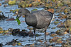 BRENT GOOSE /  BRANTA BERNICLA. (Tom Webzell) Tags: naturethroughthelens