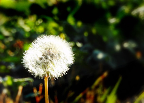 hill country dandelion