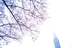 sakura pencil (N.sino) Tags: sakura pencil m9 biogon28mm shinjuku cherry shinjukugyoen 新宿御苑 桜 鉛筆 サクラクレパス