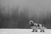 Foggy morning (cornilc) Tags: milo english cocker spaniel dog dogs blackwhite ball portrait snow winter cold trees xseries xt2 fujifilm fuji acros film simulation