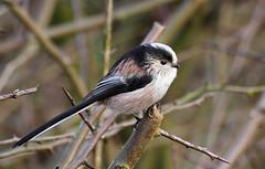 long tailed tit (Tim Gardner pics) Tags: