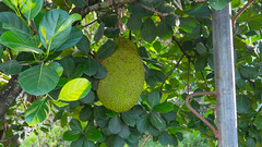 Bogo City, Cebu,Philippines (WorldOfBenjamin) Tags: catmon cebu filipino philippines jackfruit