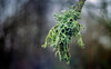lichen terminus (Simon[L]) Tags: lichen branch tree green bokeh yashicaml2885mm zoom