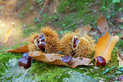 Chestnuts (Darea62) Tags: chestnut urchin leaves fruit autumn october food stilllife wood forest stone rock moss