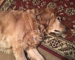 Prancer Sleeping (hbickel) Tags: prancer dog goldenretriever golden sleeping rug apple6splus apple sleeeping