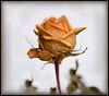 Winter Rose (Ernie Misner) Tags: f8andgetoutthere rose flower winter erniemisner nikon d810 lightroom nik capturenx2 cnx2 tamron90macro