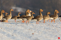 Schnabel an Schnabel (Jan Čmárik) Tags: 6d cmarik canon eos cmrk gänse anserinae gans vögel birds goose greylag nature germany field winter sno snow cold group explore explored