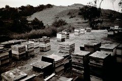 Bee Apiary (carrillophoto) Tags: orange county bee apiary bees save our california film black white