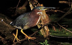 green heron (don.white55 Thanks a million..) Tags: greenheronbutoridesvirescens wildwoodlake harrisburgpennsylvania donwhite donpwhitephotography thatswildnaturephotography canone0s7od tamronsp150600mmf563divcusda011 bird heron aquaticbirds wadingbirds waterfowl fallentrees habitat marsh duckweed deadwood deadtrees eye yelloweye big wildlife wild nature fantasticnature