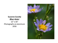 """Blue Aster • <a style=""""font-size:0.8em;"""" href=""""https://www.flickr.com/photos/124378531@N04/32485430075/"""" target=""""_blank"""">View on Flickr</a>"""