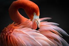 Preening (helenehoffman) Tags: flamingo caribbeanflamingo conservationstatusleastconcern feathers bird americanflamingo beak phoenicopterusruber sandiegozoo orange aves wadingbird