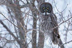 Great Gray Owl (jeffrey olarte) Tags: greatgrayowl great gray owl strixnebulosa nebulosa usa newyork new york travel travelling longdrive strix jobu lenscoat lens coat canon 600mm