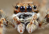 Jumper Portrait (karthik Nature photography) Tags: color macro nature animals closeup forest garden photography spider spiders wildlife jumpingspider macrophotography salticidae macroworld animalworld spiderworld insectphotography canonmpe65 macrolife malejumpingspider canon5dmark3 colorfuljumpingspider beautifuljumpingspider jumpingspidersinindia