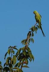 Parakeet (Phil Everett Photography) Tags: bird canon parakeet mk2 100400 escapey