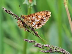 Small Pearl-bordered Fitillary (Boloria selene) (Bathgate Wildlife) Tags: west scotland moss wildlife small butterflies scottish trust lothian selene tailend bathgate pearlbordered boloria fitillary