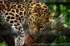 Amoerluipaard - Panthera pardus Orientalis / amurensis - Amur leopard (MrTDiddy) Tags: usa cat mammal zoo big kat feline fort wayne indiana leopard bigcat childrens siberian amur grote luipaard panthera fortwaynechildrenszoo pardus zoogdier orientalis amurensis amoer grotekat siberische amoerluipaard siberisch