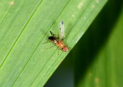 Five Flies for Flyday Friday #3 (Tam & Sam) Tags: summer macro closeup garden insect fly nikon july arthropod diptera 2015 bytam