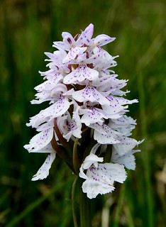 Heath spotted Orchid Dactylorhiza maculata