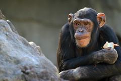 Chimpanzé (olivier.ghettem) Tags: portrait valencia animal spain extérieur espagne primate valence afrique singe chimpanzé animalsauvage bioparcvalencia