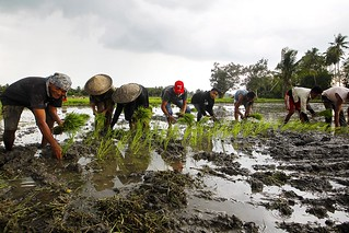 Rice farmers seize opportunity to replant