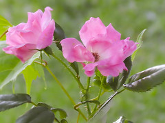 Pink Roses (mahar15) Tags: flowers roses summer nature rose closeup outdoors petals pinkflower blooms pinkrose