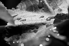 gespritzter Wein (glaserei) Tags: bw natur wald wein weinblatt schwarzweis