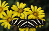Heliconius charithonia. (Carlos Arriero) Tags: heliconiuscharithonia mariposa butterfly insecto insect carlosarriero yellow amarillo dof bokeh animal neogeo nature naturaleza ngc icoddelosvinos mariposariodeldrago nikon d800e vidaanimal macro color colors colour composición composition 2470mm tamron outdoor