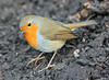Christmas Eve Robin! (RiverCrouchWalker) Tags: robin rhs rhshydehall essex rettendon garden erithacusrubecula europeanrobin robinredbreast christmaseverobin