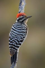 Climb Aboard (gseloff) Tags: ladderbackedwoodpecker bird wildlife ocotillo bigbendranchstatepark bbrsp presidiocounty texas chihuahuandesert gseloff