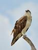 Osprey_1600 (psnikon) Tags: osprey fischadler florida everglades nikon nikonphotography nikond800e nikon7020028vrii nikontc17eii bird vogel vögel greifvogel pandionidae fisheagle seahawk fishhawk raptor tier adler