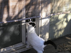 Hairy Pawter Sniffs Sweet Pea (meowhous the iconoclast) Tags: sweetpea feral cat