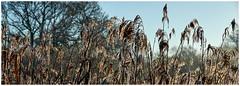 Icy Reeds. (vegetus aer) Tags: woodwaltonfen greatfen greatfenproject wildlifetrust bcnwildlifetrust nnr cambridgeshire wildlife rx10m3 panorama