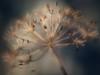 End of Season (Anne Worner) Tags: anneworner anthriscussylvestris apiaceae chaerefoliumsilvestrel em5 lensbaby velvet56 beakedparsley bokeh closeup cowparsley dead detail dried endofseason flora flower goldenhour herb hundekjeks macro olympus plant seedhead seeds soft wildchervil wildparsley