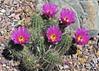 Echinocereus straminius (l.e.violett) Tags: cactus flowering cultivated echinocereus straminius