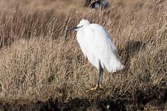 Little egret (Shane Jones) Tags: littleegret egret wader bird wildlife nature nikon d500 200400vr tc14eii