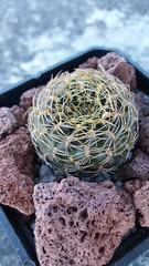 Sulcorebutia candiae. Enero 2017 (garconwii) Tags: plant cactus sulcorebutia