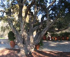 troncos e cortiça (Américo Meira) Tags: portugal lisboa sobreiro parqueinfantil alvito monsanto tronco ramo