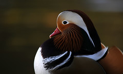 Elegance (Nephentes Phinena ☮) Tags: mandarinduck mandarinente nikond300s bird birds animal