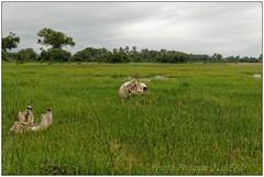 DSC08646PJ_resultat (http://phj.bookfoto.com/) Tags: botswana philippe jubeau afrique delta okavango ossement elephant