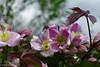 Clematis (David S Wilson) Tags: clematis sonyrx100m3 garden 2015 davidswilson climbing ngc npc