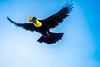 Yellow-throated Toucan (schikarmane) Tags: birds chestnutmandibledtoucan costarica drakebay toucan wildlife yellowthroatedtoucan