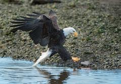 ND5_7631 About to Grab (Wayne Duke 76) Tags: eaglepickup maturebaldeagle inflightgrab