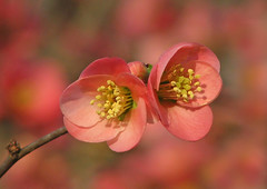 February quince (Vicki's Nature) Tags: floweringquince pink pair two blossoms flowers touchofyellow pollen dof bokeh pastels colorful february winter spring vickisnature canon s5 4701