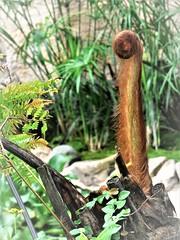 the emerging frond (SM Tham) Tags: asia southeastasia malaysia penang island telukbahang entopia butterflyfarm plants fern frond