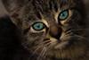 Eyes Cat (supermistero) Tags: cat gatto cats eyes eye occhi sguardo manto pelo blue colore micio mus muso occhio colors color foto photography photo shoot fotografia canon 600d