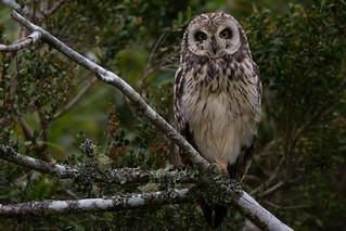 Short-eared Owl - Asio flammeus suinda - Nuco in Puerto Varas