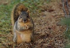 Squirrel, Morton Arboretum. 381 (EOS) (Mega-Magpie) Tags: canon eos 60d nature outdoors wildlife cute squirrel the morton arboretum lisle il illinois dupage usa america nut