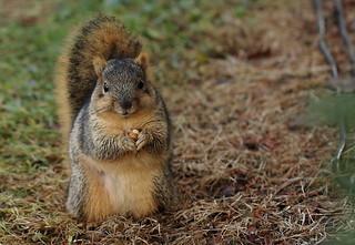 Squirrel, Morton Arboretum. 381 (EOS)