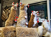 Alpacas in Abergavenny 7/365 (radleyfreak) Tags: 365 picture alpaca alpacas wool handmade abergavenny market wooly stitched